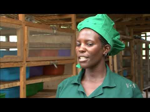 Uganda Experiments with Using Insects for Livestock Feed