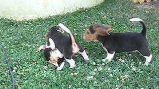 Beagle Puppies For Sale In Pa.