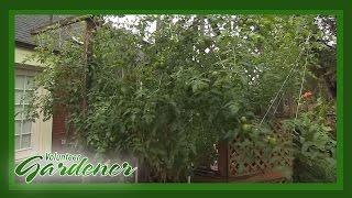 Big Mama Tomato   Volunteer Gardener