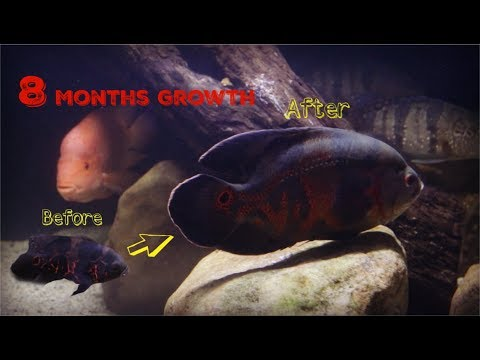 Watch My Oscar Cichlid Grow From 3 To 10 Inches