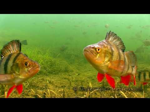 Canal, slow drift: pike perch tench roach bream rudd underwater. Канал: щука линь окунь лещ плотва