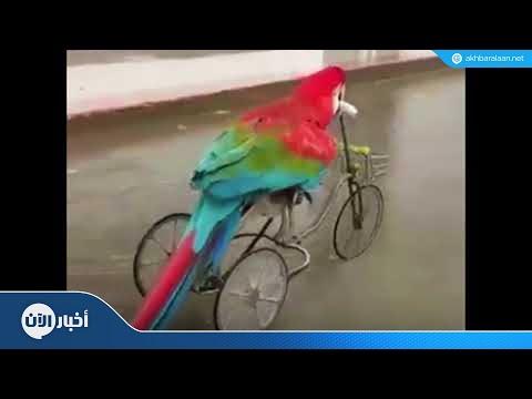 ببغاء ذكي يقود دراجة هوائية باحترافية!