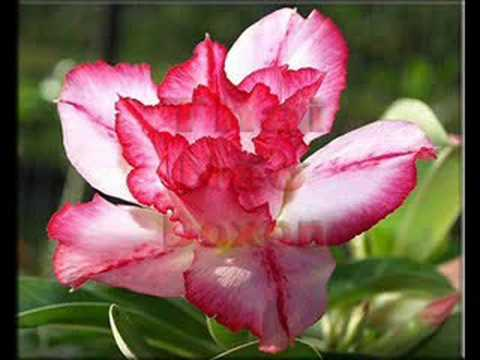 Rare exotic adenium double flowers neo doxon youtube mightylinksfo