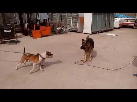 ثلاثة أنواع من الكلاب بلجيكى- مستف- بيتبول( البيتبول أكثرهم غدرا)