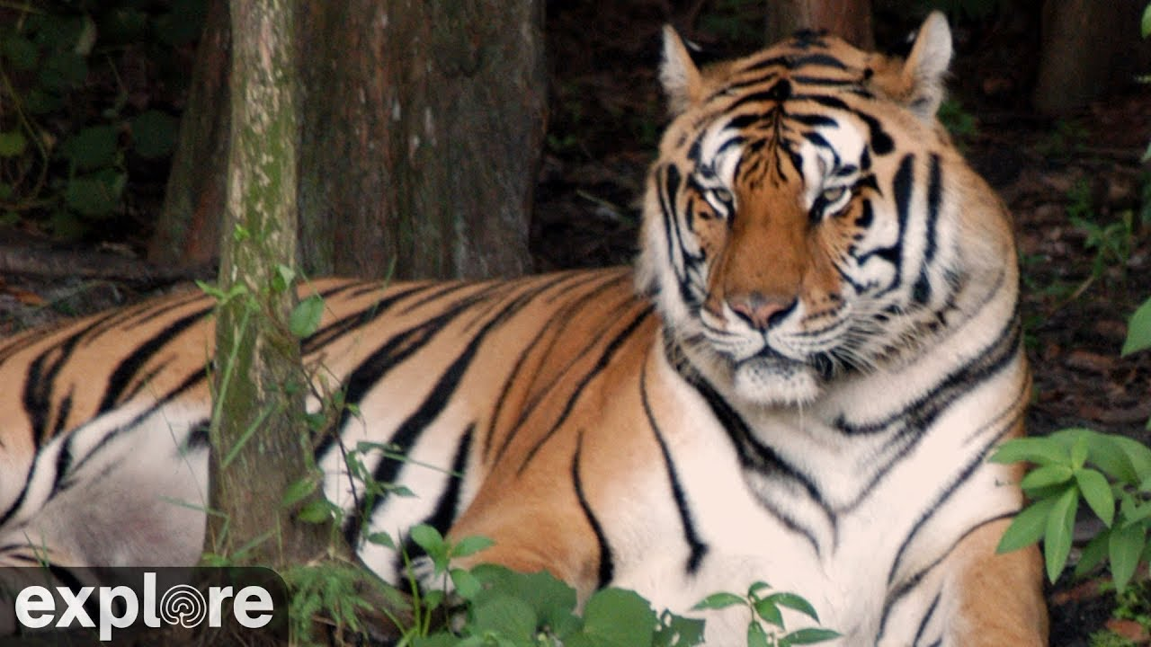 tiger lake - big cat rescue powered by explore org