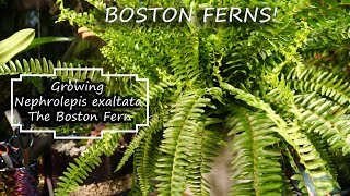 Boston Fern Care || Fern Friday