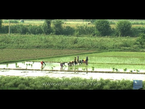 Agriculture : Rice Cultivation In India