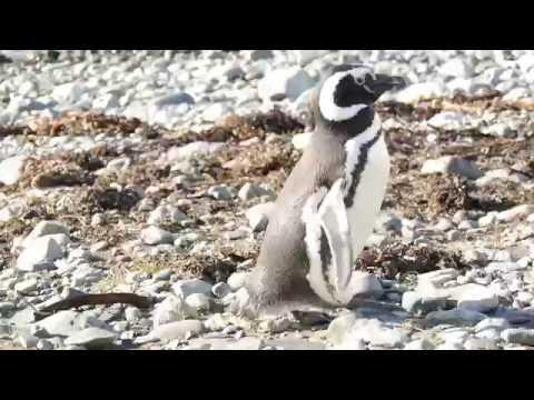 Pinguine Isla Magdalena Punta Arenas Chile