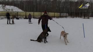 Упражнение обход, тренировка выдержки, дрессировка собак, занятие в группе