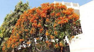 Best Flowering Vine for Winters - Bignonia / Flame Vine Plant || सर्दियों के लिए फूल देने वाली बेल
