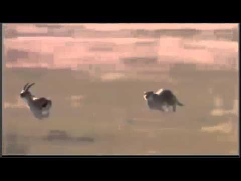 Cheetah vs Gazelle 110km h Cheetah attack  gazzele part 1