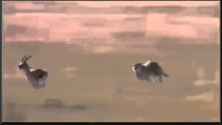 Cheetah vs Gazelle 110km h Cheetah attack  gazzele part 1