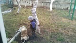 Ребенок играет с собакой Московская сторожевая. Boy and the Moscow watchdog