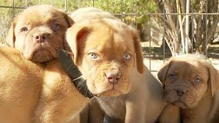 Dogue De Bordeaux Puppy Pile Party