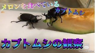 #秋田県 #カブトムシ #リクリクYouTuber   カブトムシの観察!【メロンを食べているカブトムシ!】