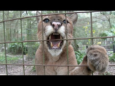 BIG Cats With BIG Cattitudes