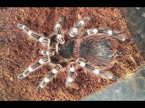 Краткое описание вида паука птицееда Acanthoscurria geniculata