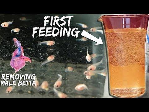 FEEDING BETTA FISH THE RIGHT WAY (Episode 5 )