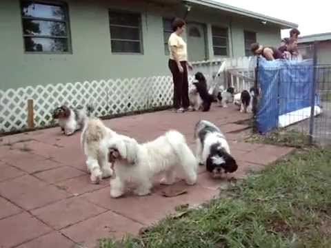 Rescue Dogs Playing At Shih Tzu Rescue Premises Youtube