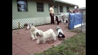 Rescue Dogs Playing At Shih Tzu Rescue Premises