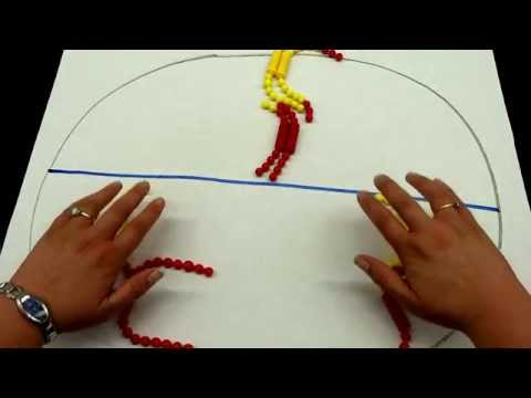 Lab 10: Part 1 - Meiosis bead demonstration