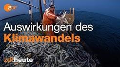 Hering in Gefahr - Klimawandel in der Ostsee