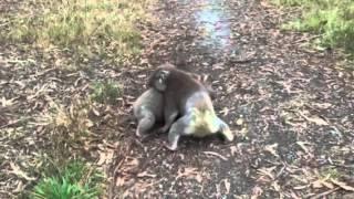 Koala wrestling