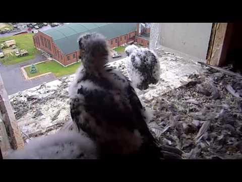 Single Digits Live Peregrine Falcon Nest Cam