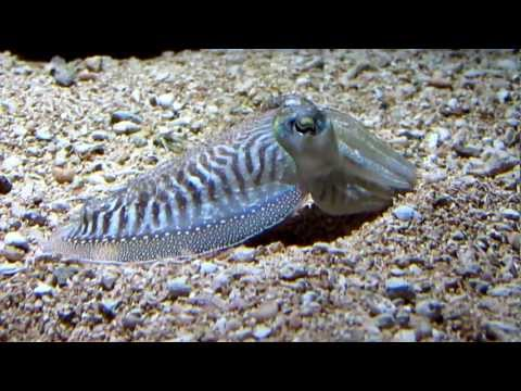 Color Changing Cuttlefish - New England Aquarium