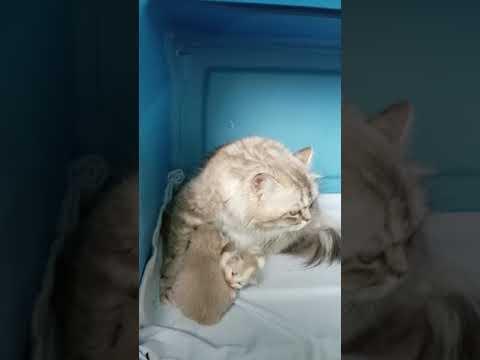 RagaMuffin Kittens from Starburst