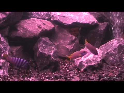 My Aquarium - Malawi