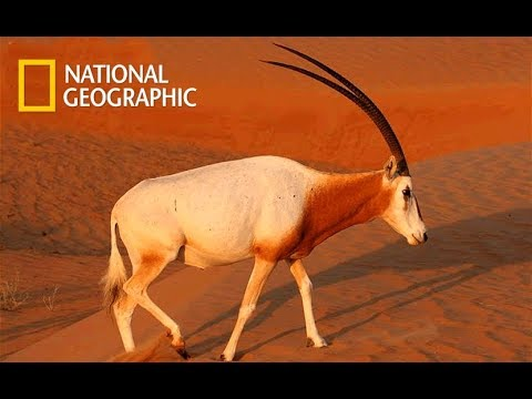 Wild Arabia - Hidden Deep In The Desert | Death In The Dunes (Nat Geo Wild)