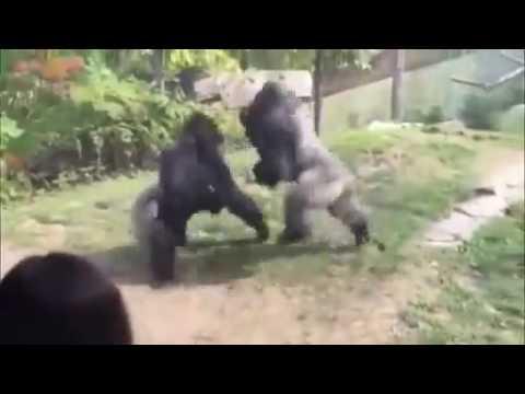 Video  Hai chú khỉ đột đánh nhau như phim võ thuật