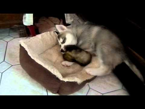 Husky puppy (2 month old) plays with ferret