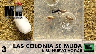 la colonia se muda al hormiguero hormigas messor barbarus