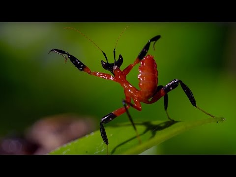 download Kung Fu Mantis Vs Jumping Spider | Life Story | BBC