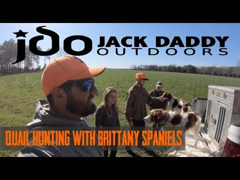 Quick quail hunt in South Alabama with Brittany Spaniel  harvest 8 birds and good dog work