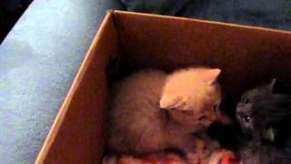 introducing cat to kitten