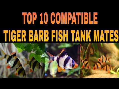 SUTAIBLE TANK MATES FOR TIGER BARB FISH