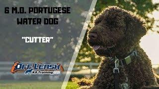 PORTUGUESE WATER DOG / DOG TRAINING