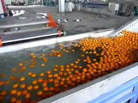 Orange washing,waxing,drying and grading machine