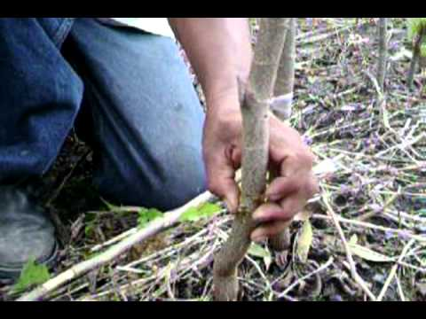 Injerto De Nogal Pecanero Pecan Tree Grafting 1 Youtube