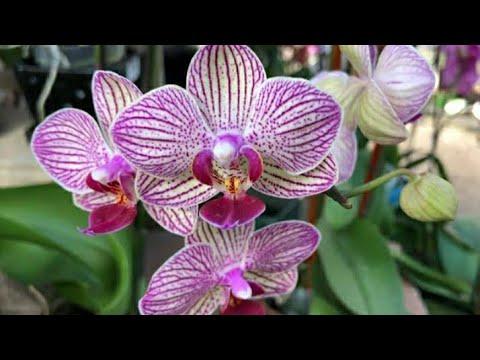#shorts#Orchid#flowers#akkus