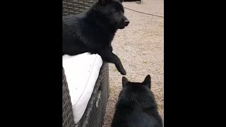 SCHIPPERKE DOGS ARE SUPER COOL