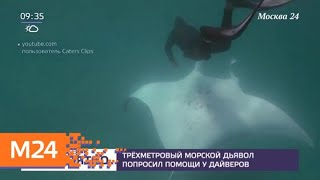 Трехметровый морской дьявол попросил помощи у дайверов - Москва 24