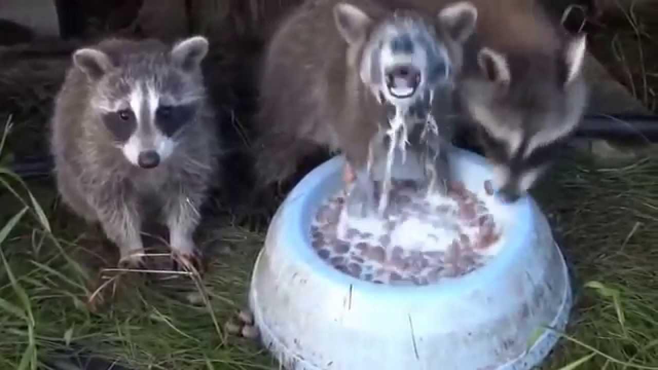 Жадный енот пьет молоко - YouTube