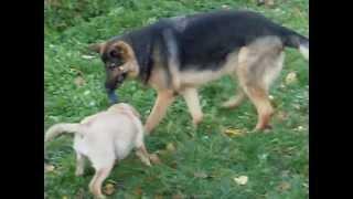 120lb German Shepherd Vs 25lb Yellow Lab Puppy