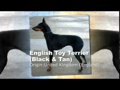 English Toy Terrier Black & Tan Dog Breed