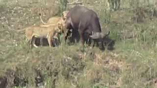 Dramatic footage of South African wild lion pride hunting down a buffalo