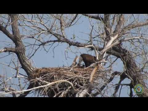 Longmont CO Eagles 4/23/2018 Feeding the Eaglets
